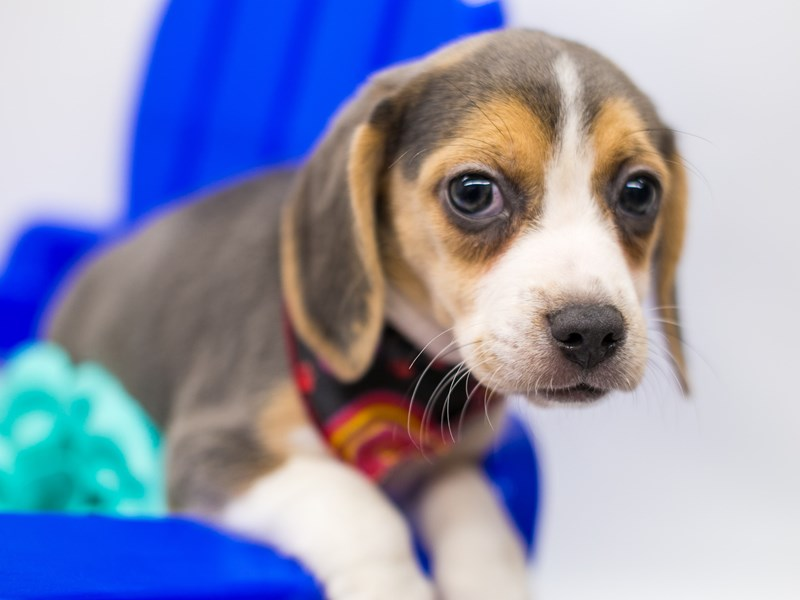 Beagle-Female-Blue Tri-2781731-Petland Wichita, KS