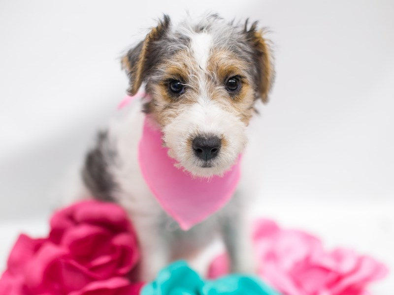 Wire Fox Terrier-Female-Tri-2781772-Petland Wichita, KS