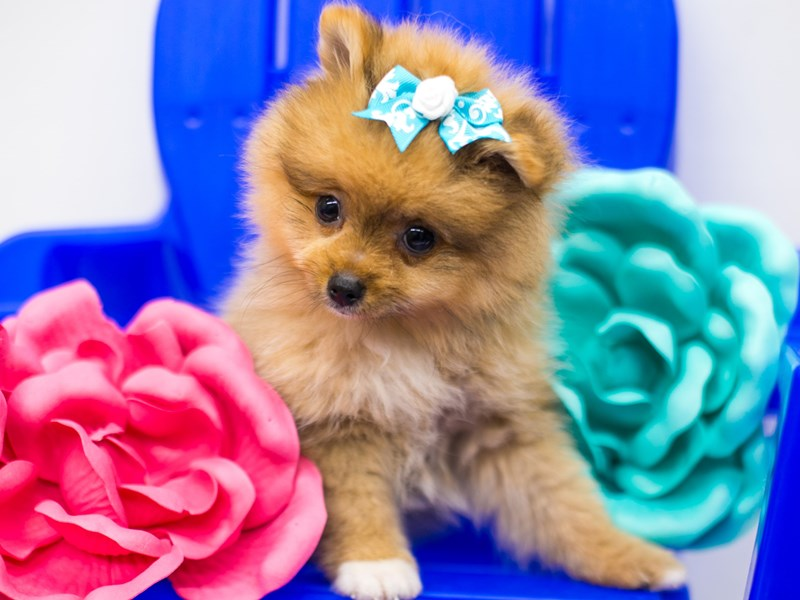 Pomeranian-Female-Red & White-2781786-Petland Wichita, KS