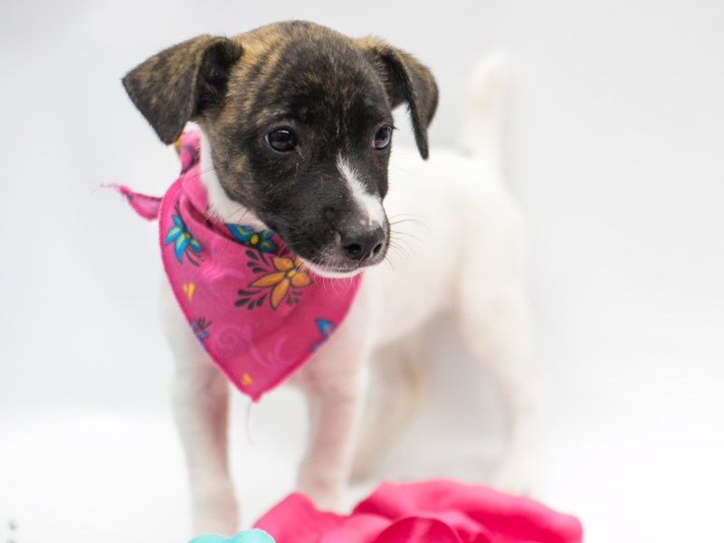 Jack Russell Terrier-DOG-Female-Brindle & White-2781841-Petland Wichita, KS