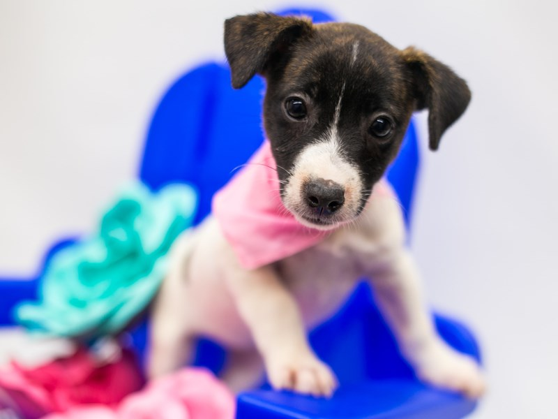 Jack Russell Terrier-Female-Brindle & White-2781855-Petland Wichita, KS