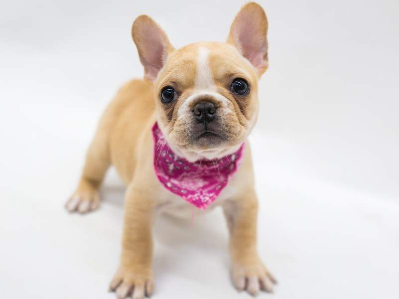 French Bulldog-Female-Cream & White-2796434-Petland Wichita, KS