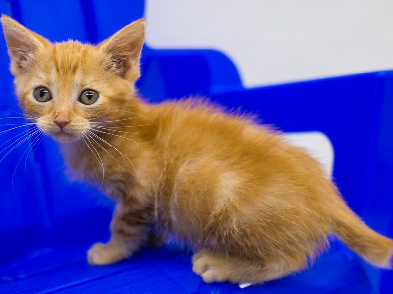 Kitten-Female-Orange-2789145-Petland Wichita, KS