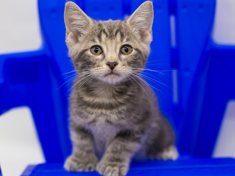 Kitten-CAT-Male-Grey Tabby-2789131-Petland Wichita, KS