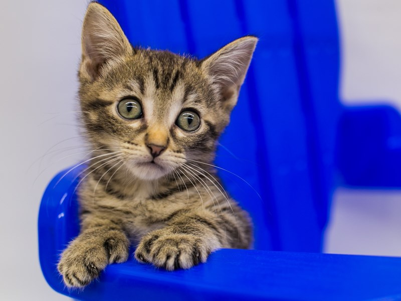 Kitten-CAT-Male-Dark Tabby-2789139-Petland Wichita, KS