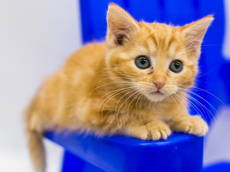 Kitten-CAT-Female-Orange-2789143-Petland Wichita, KS