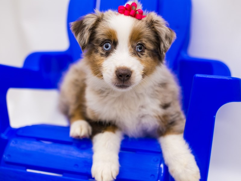 Miniature Australian Shepherd-DOG-Female-Red Merle-2803509-Petland Wichita, KS
