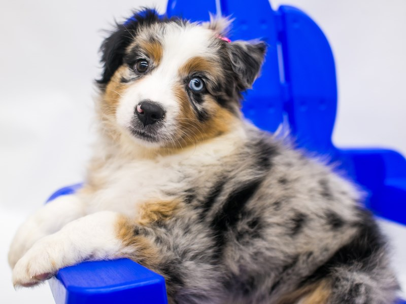 Miniature Australian Shepherd-Male-Blue Merle-2803506-Petland Wichita, KS