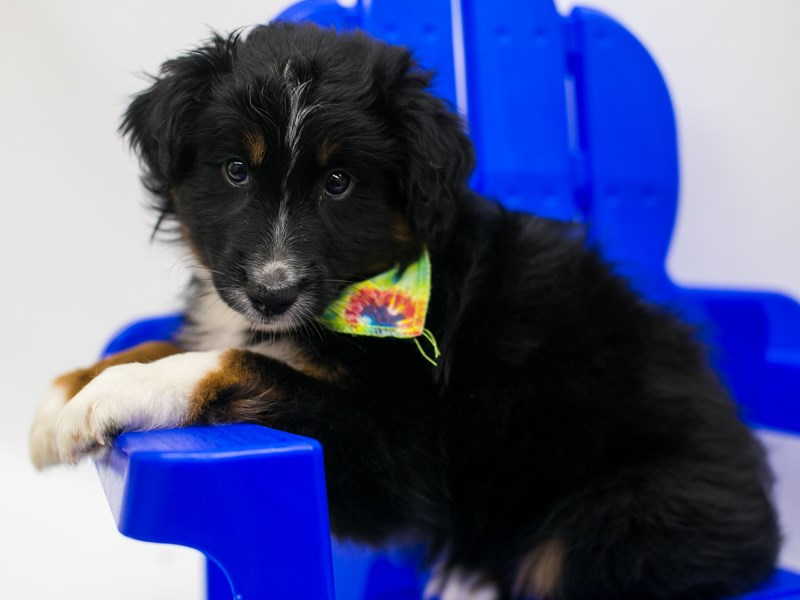 Miniature Australian Shepherd-Male-Black Tri-2803489-Petland Wichita, KS