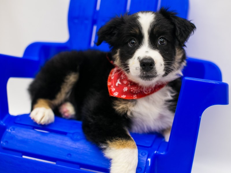 Miniature Australian Shepherd-Male-Black Tri-2803471-Petland Wichita, KS