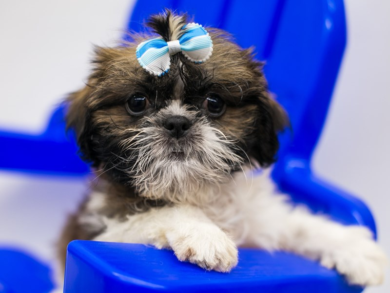 Shih Tzu-Female-Gold & White-2803381-Petland Wichita, KS
