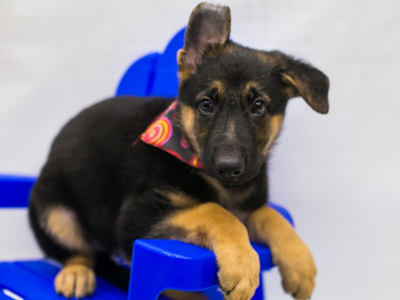 German Shepherd-DOG-Female-Black & Tan-2802750-Petland Wichita, KS