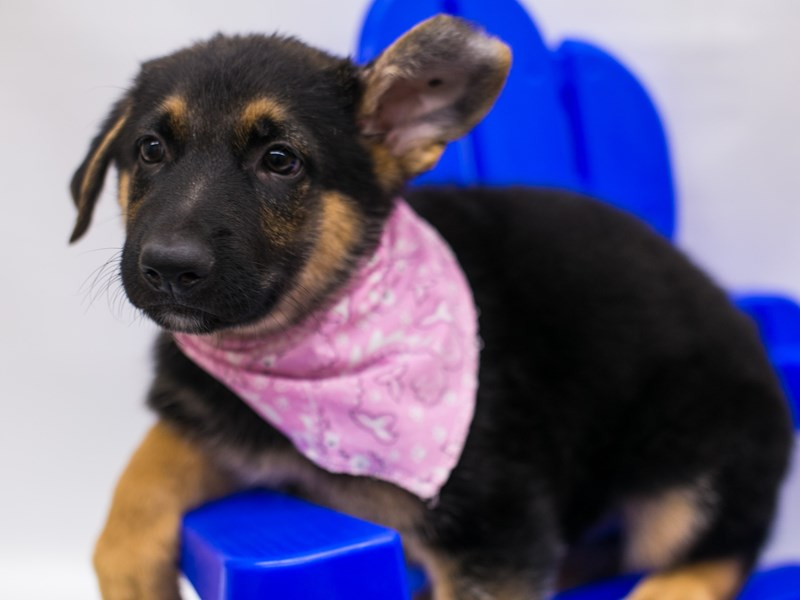German Shepherd-Female-Black & Tan-2802749-Petland Wichita, KS