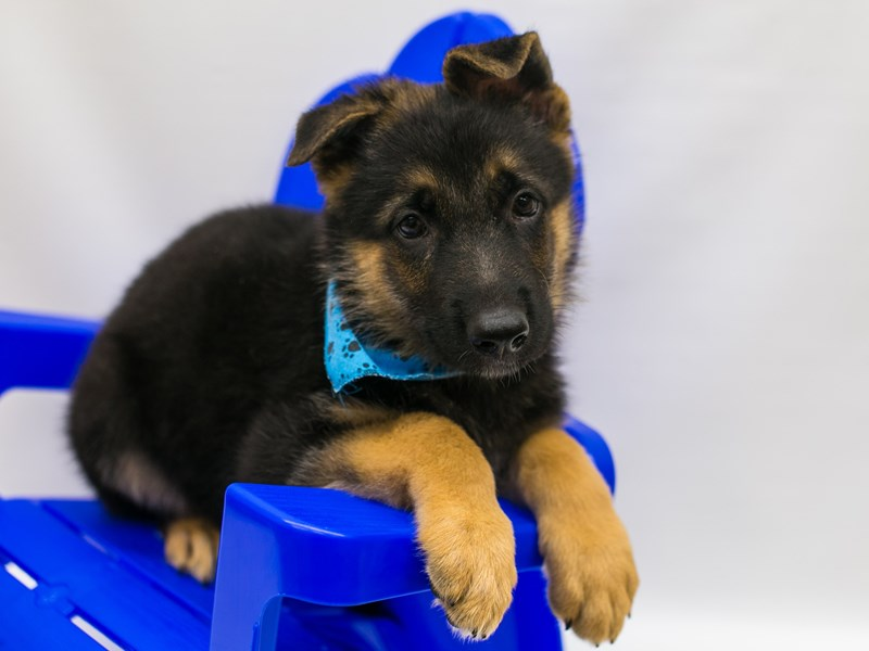 German Shepherd-DOG-Male-Black & Tan-2802743-Petland Wichita, KS