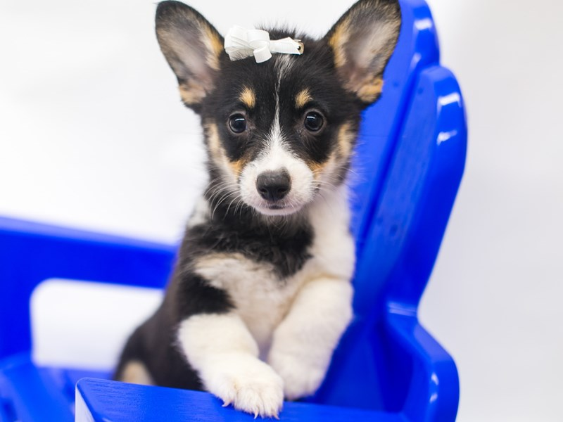 Pembroke Welsh Corgi-Female-Black Tri-2810928-Petland Wichita, KS