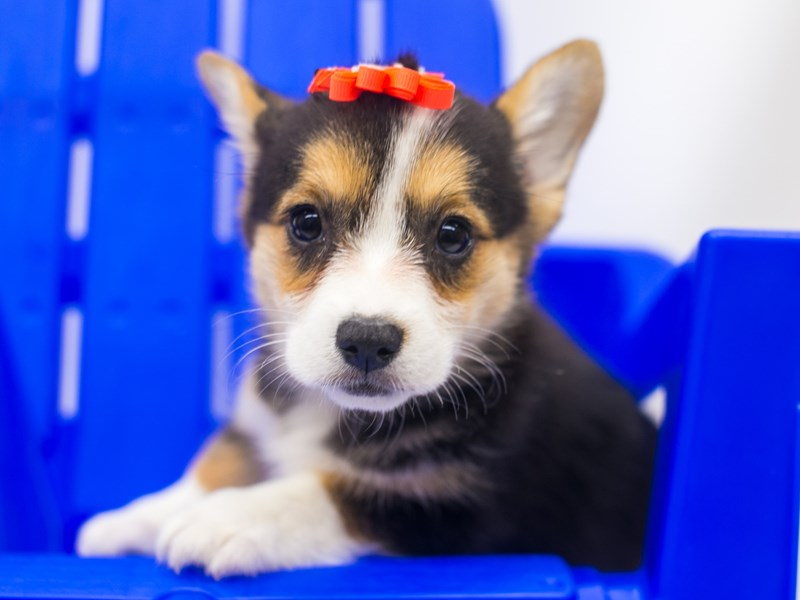 Pembroke Cardigan Welsh Corgi-Female-Black Tri-2810913-Petland Wichita, KS