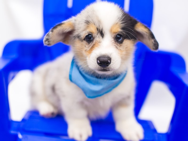 Pembroke Cardigan Welsh Corgi-Male-Blue Merle-2810895-Petland Wichita, KS