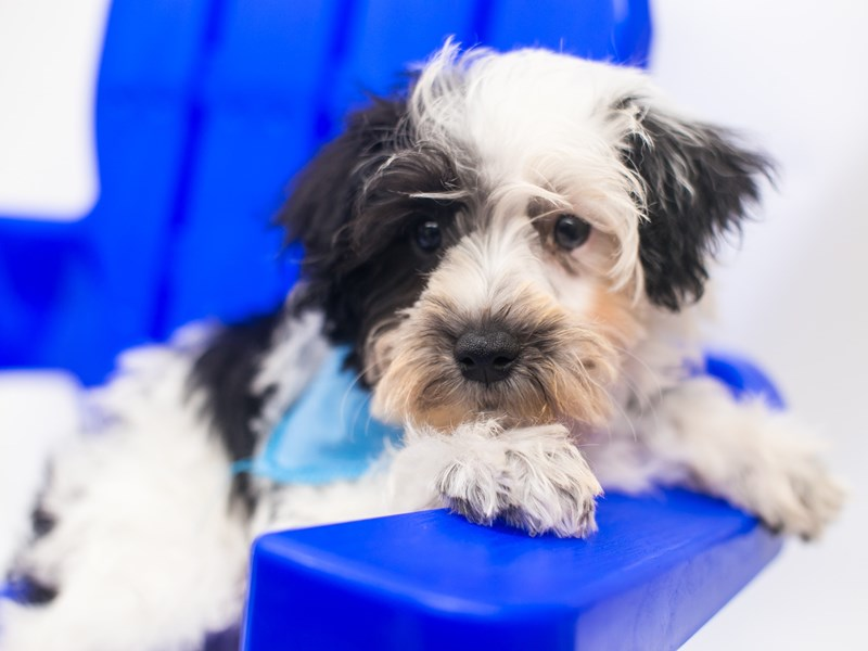 Miniature Schnauzer-Male-Black & White Parti (half blue eye)-2810875-Petland Wichita, KS