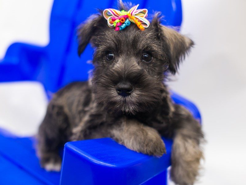 Miniature Schnauzer-DOG-Female-Salt & Pepper-2810865-Petland Wichita, KS