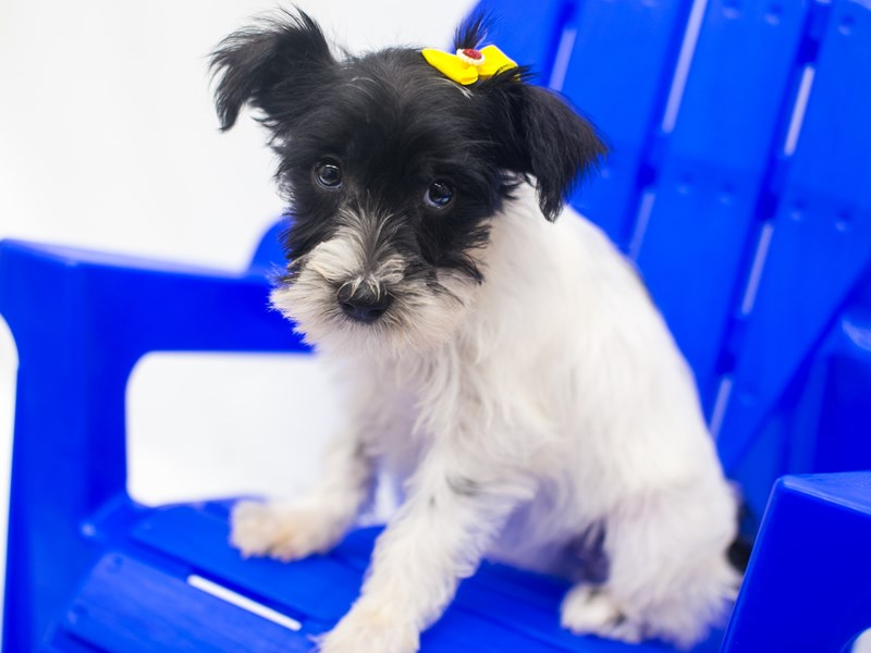 Miniature Schnauzer-Female-Black & White Parti-2810859-Petland Wichita, KS