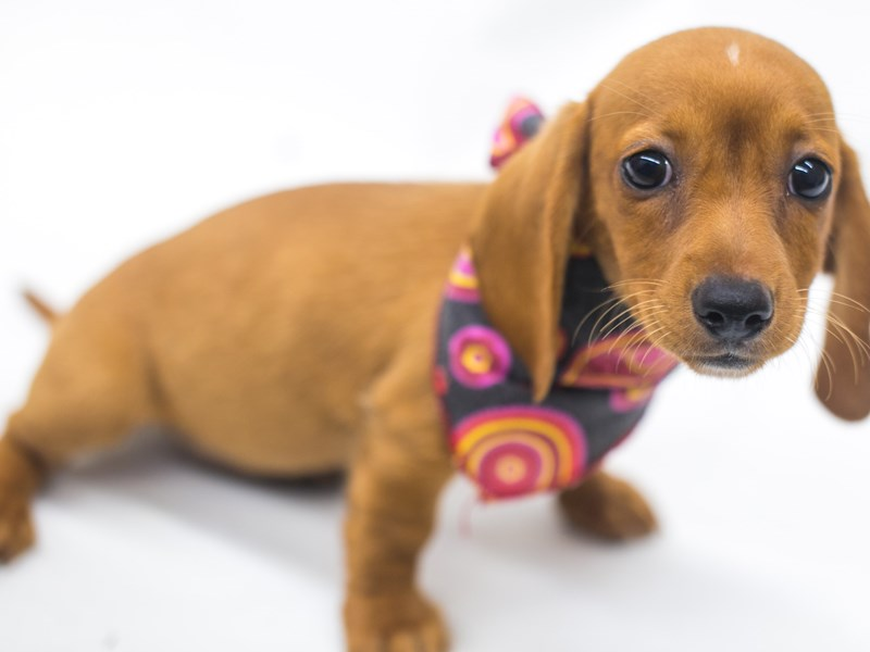 Miniature Dachshund-Female-Red-2810831-Petland Wichita, KS