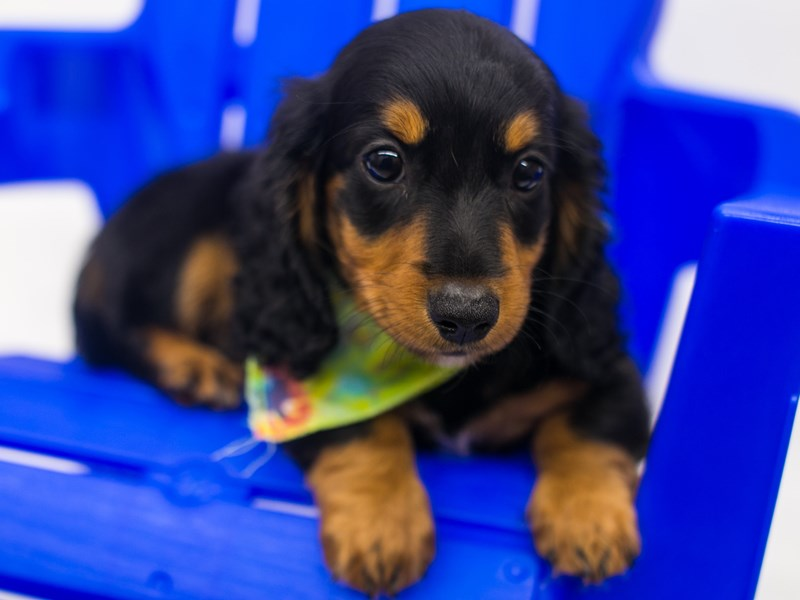 Miniature Dachshund-DOG-Male-Long hair - Black & Tan-2810829-Petland Wichita, KS