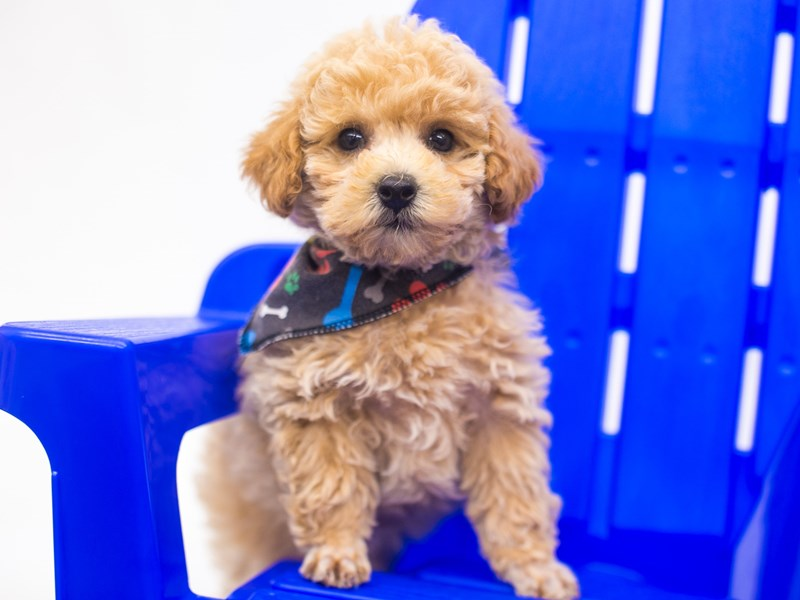 Toy Poodle-Male-Apricot-2810773-Petland Wichita, KS