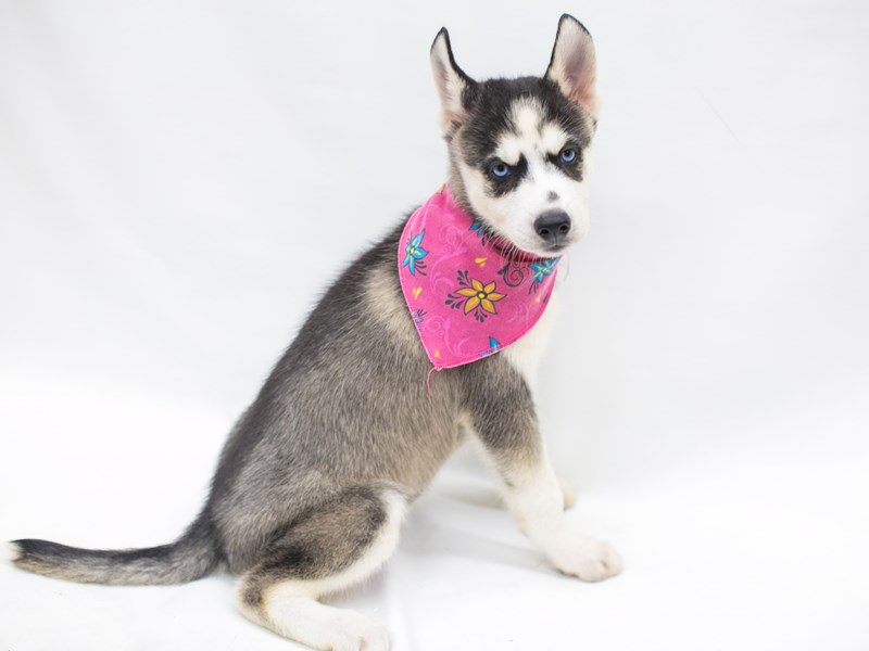 Siberian Husky-Female-Black & White-2809421-Petland Wichita, KS