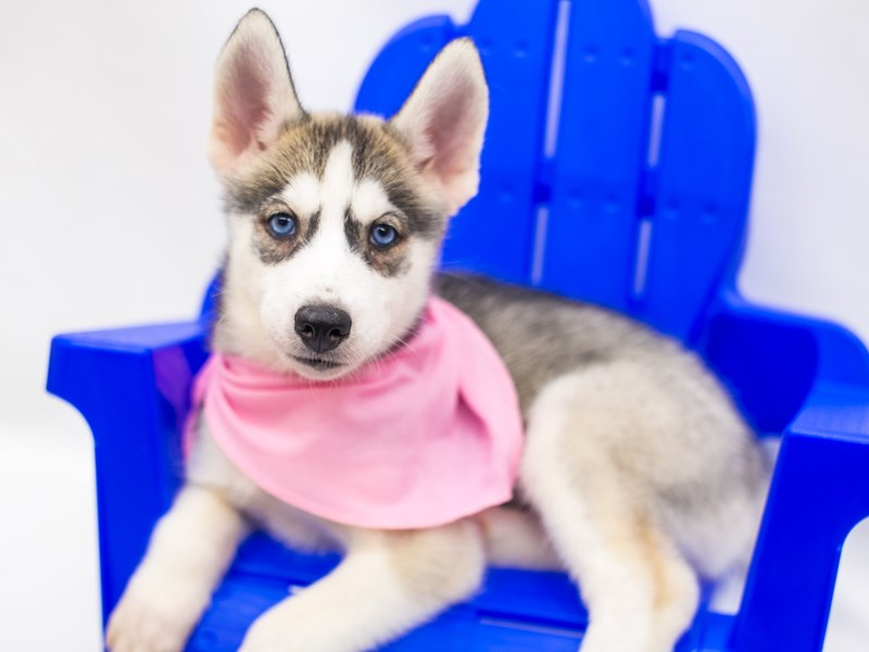Siberian Husky-Female-Silver & White-2809418-Petland Wichita, KS