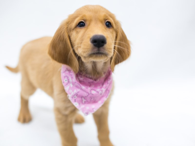 Golden Retriever-DOG-Female-Golden-2810631-Petland Wichita, KS