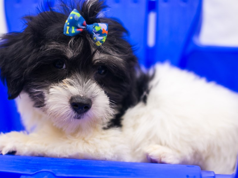 Coton De Tulear-Female-Black & White-2819047-Petland Wichita, KS