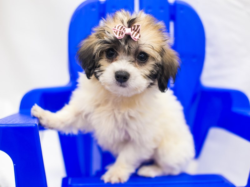 Coton De Tulear-Female-Gold & White-2819018-Petland Wichita, KS