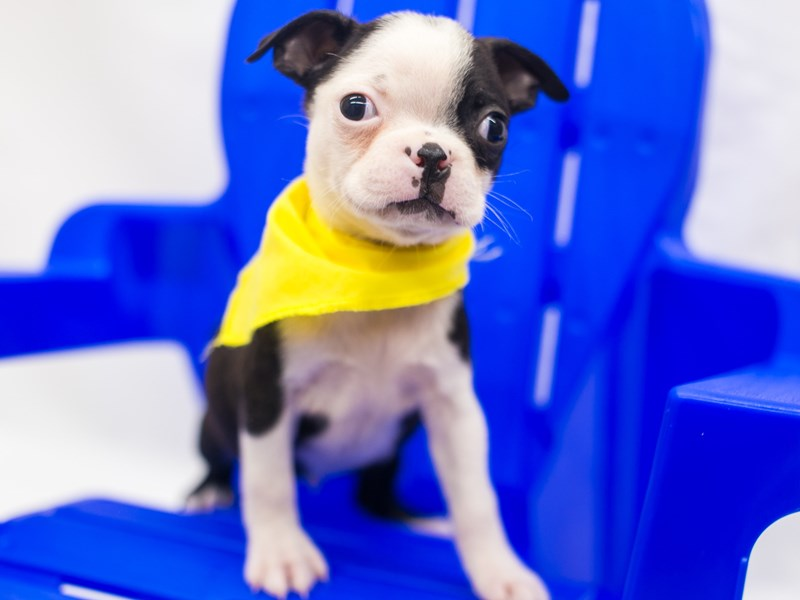 Boston Terrier-Male-Black & White-2817618-Petland Wichita, KS