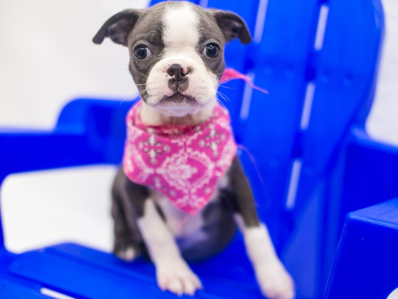 Boston Terrier-Female-Blue & White-2817605-Petland Wichita, KS