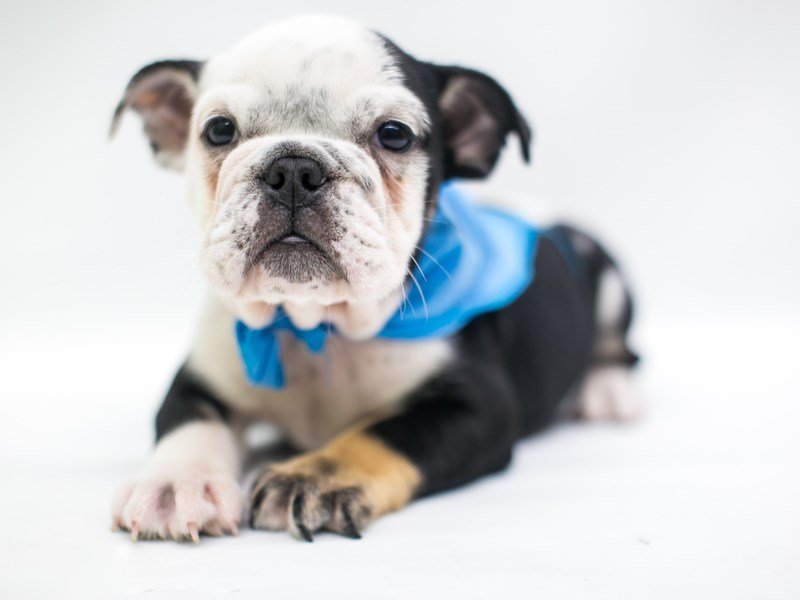 English Bulldog-Male-Black Tri-2758315-Petland Wichita, KS