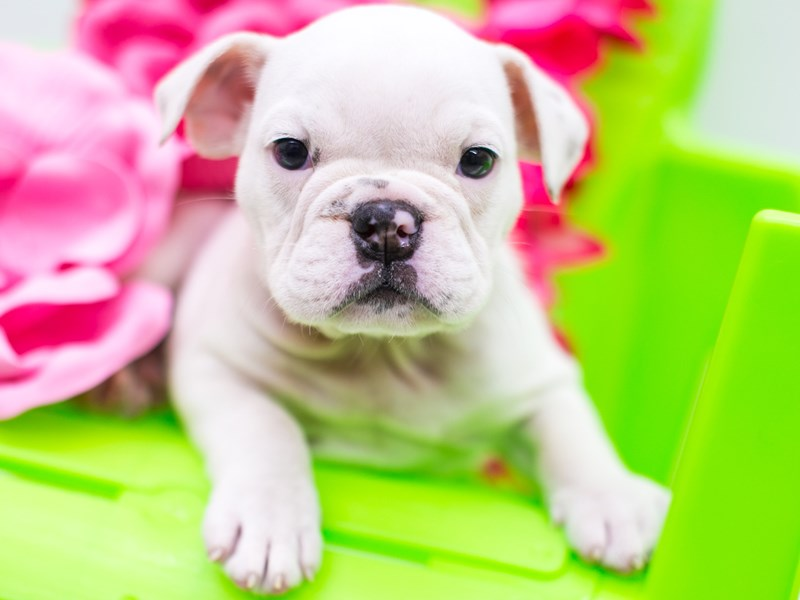 English Bulldog-DOG-Female-White-2766385-Petland Wichita, KS