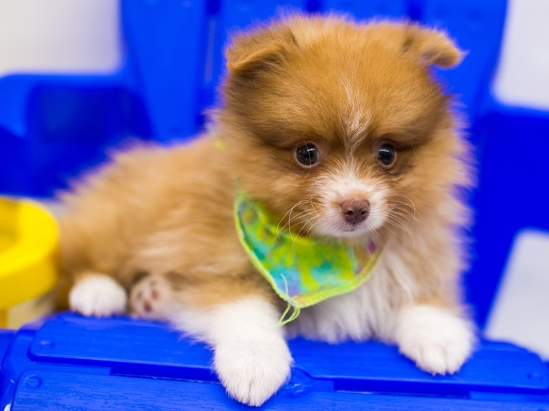 Pomeranian-Male-Red Sable White Markings-2774048-Petland Wichita, KS