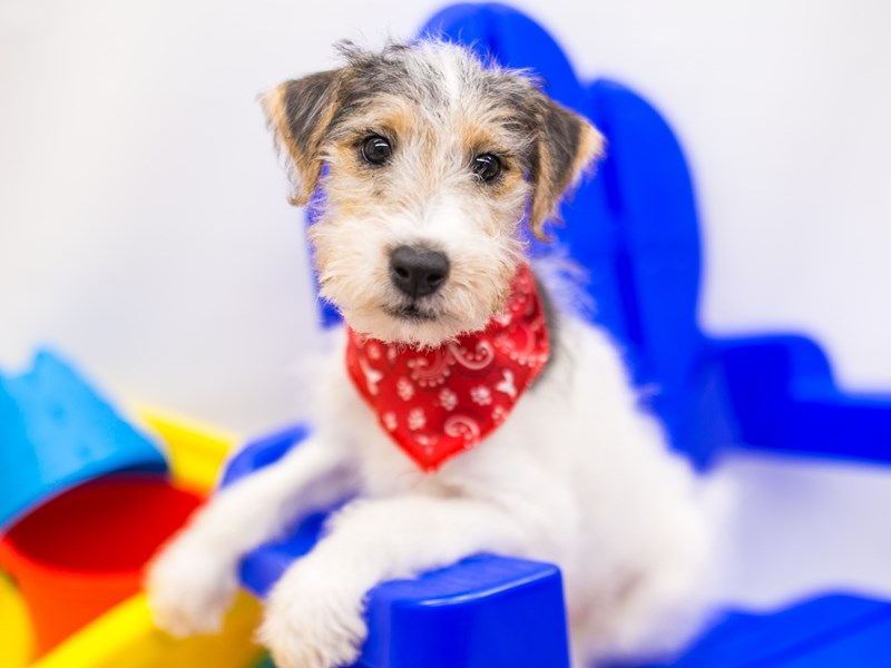 Wire Fox Terrier-DOG-Male-White, Black, Tan-2773789-Petland Wichita, KS