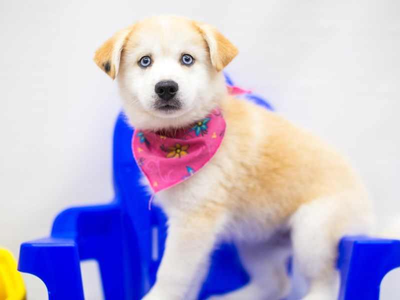 Pomsky-Female-Red & White-2773228-Petland Wichita, KS