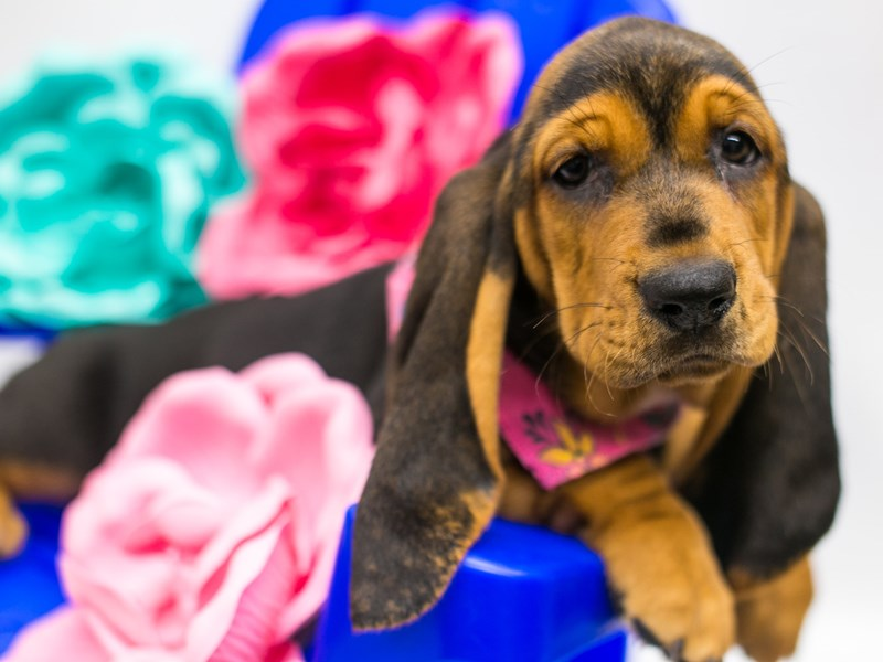 Basset Hound-Female-Black & Tan-2781723-Petland Wichita, KS