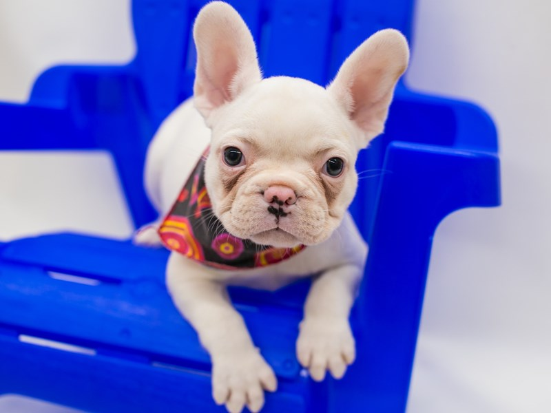 French Bulldog-Female-White & Cream-2796429-Petland Wichita, KS