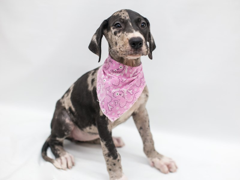 Great Dane-Female-Blue Merle-2803412-Petland Wichita, KS