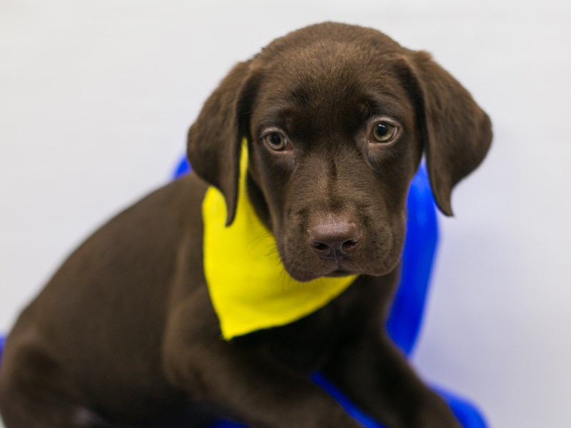 English Labrador Retriever-DOG-Male-Chocolate-2802888-Petland Wichita, KS