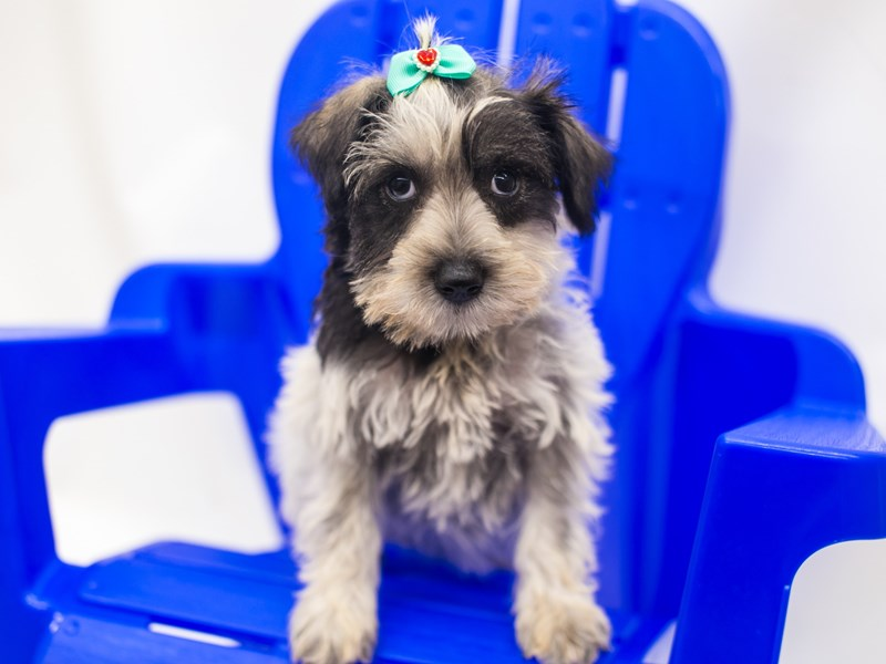 Miniature Schnauzer-Female-Salt & Pepper Parti-2810837-Petland Wichita, KS