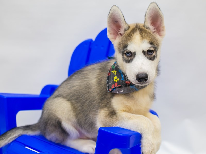 Siberian Husky-Male-Grey & White-2809404-Petland Wichita, KS