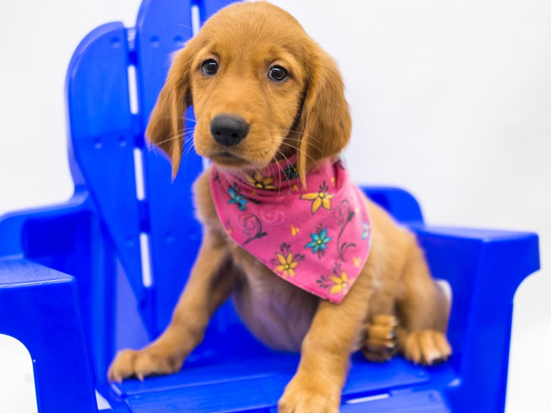 Golden Retriever-Female-Red Golden-2810636-Petland Wichita, KS