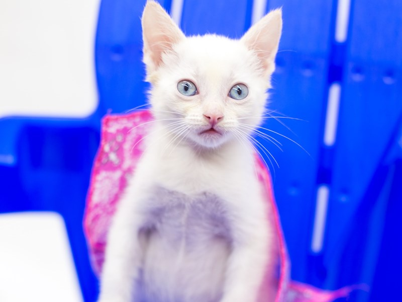 Kitten-Female-White Flame Point-2813114-Petland Wichita, KS