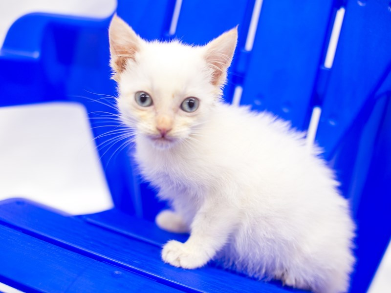 Kitten-CAT-Male-White Flame-2813111-Petland Wichita, KS