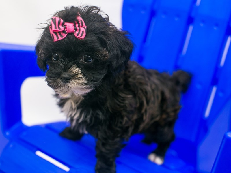 Toy Hava Tzu-DOG-Female-Dark Chocolate & Black-2819068-Petland Wichita, KS