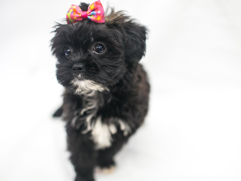 Toy Hava Tzu-Female-Dark Chocolate & Black-2819064-Petland Wichita, KS